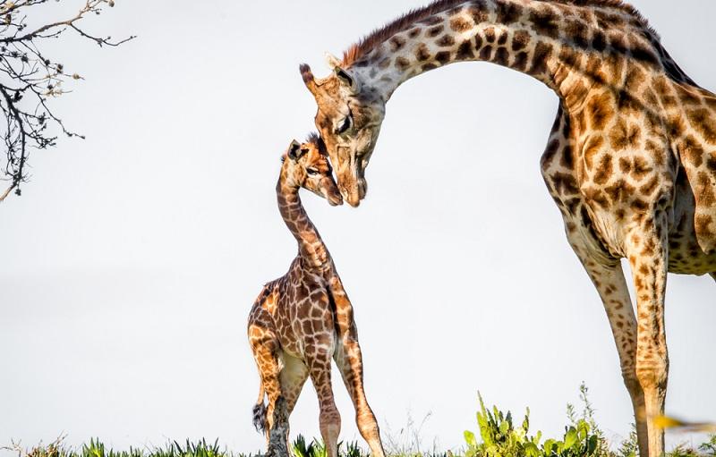 Bilder zum Liebhaben: Auch Giraffenmuttis kuscheln mit ihren Kleinen