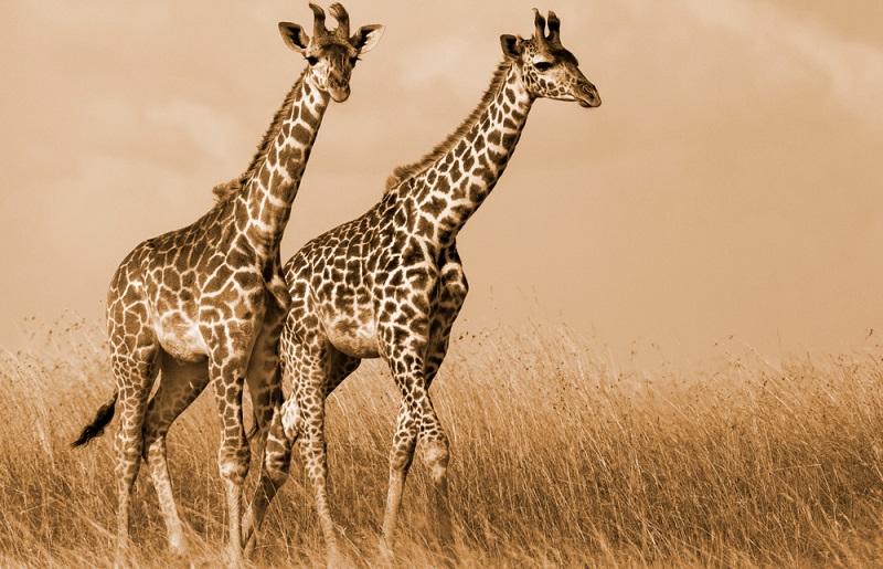 Bilder mit Giraffenmotiv strahlen etwas Anmutiges, Ruhiges und Romantisches aus.