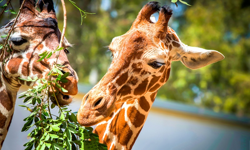 Die Bilder zeigen es: Große Lebewesen haben in der Regel auch großen Hunger. Das ist auch bei Giraffen nicht anders.
