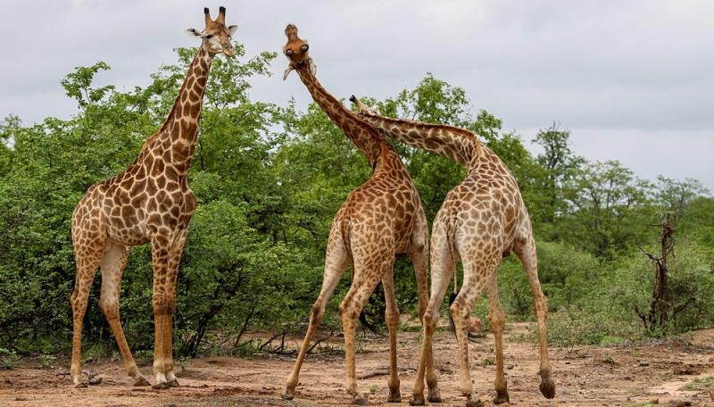 Die Giraffe ist in der Regel ein sanftes Tier, nicht nur auf diesen Bildern. Bis es um die Rangordnung und das Klären der Frage geht, wer das auserwählte Weibchen bekommt.