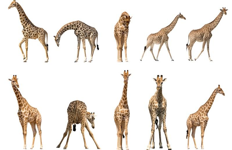 Giraffen-Bilder: Das Innenleben der Giraffen ist ein Thema, das man ebenfalls nicht außer Acht lassen sollte. Denn es birgt einige spannende Fakten.