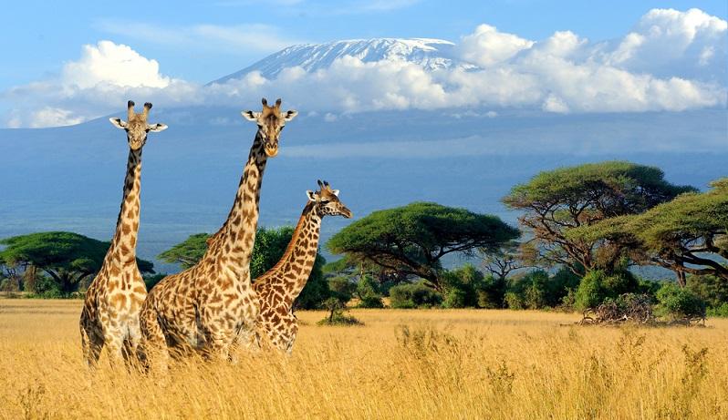 In der sonnigen Savanne Afrikas haben die Giraffen ihre Heimat.