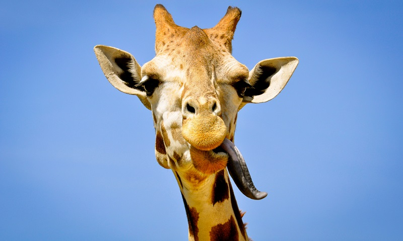 Witziger Fakt: Die Spitze der bis zu 50 Zentimeter langen Zunge ist deshalb schwarz, damit sie keinen Sonnenbrand beim Fressen und Trinken bekommt.