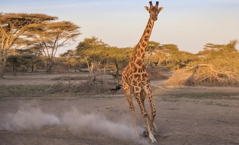 Giraffen-Bilder: Wenn sie rennen, erreichen sie eine Geschwindigkeit von bis zu 55 km/h und einen Puls von etwa 175.