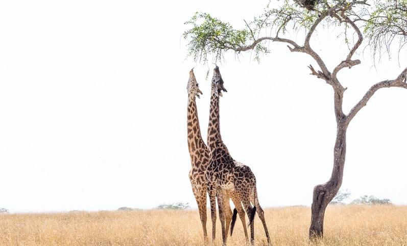 Ihren langen Hals haben Giraffen nicht, weil er so lustig aussieht. Er ist notwendig, damit sie an ihre geliebten Blätter der Akazienbäume herankommen, die sehr weit oben wachsen.