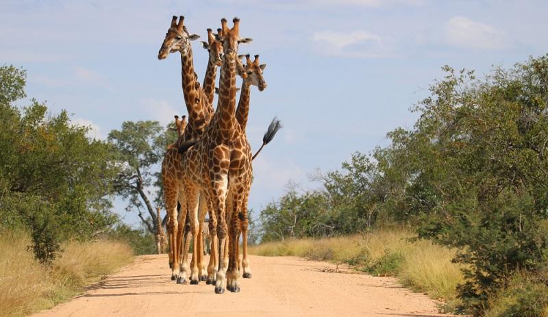 Entgegen der ersten Vermutung laufen die Steppenbewohner trotz ihrer langen Beine nicht viel. Denn das würde sie in der Hitze zu viel Energie kosten. Daher legen sie eher kleinere Strecken zurück.