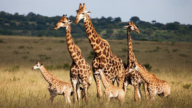 Giraffen schlafen nicht wirklich viel