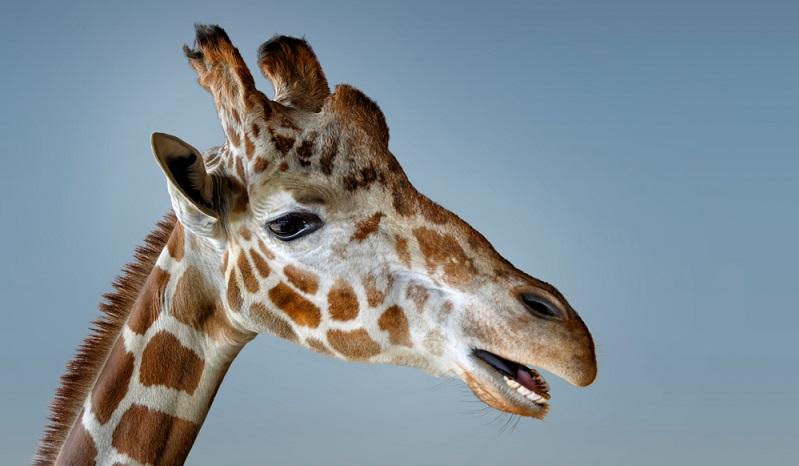 Giraffen-Bilder: Beinahe wie aus einem Märchen oder aus einer Fantasiegeschichte sehen die anmutigen Säugetiere aus. Kein Wunder also, dass Giraffen bei den fantasievollen Kindern so gut ankommen.